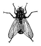 Vector illustration of fly in engraved style Royalty Free Stock Images