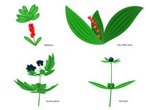 Vector illustration of forest poisonous berries Royalty Free Stock Image