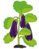 Vector illustration fruit eggplant on green bush. Bush with ripe eggplant on white background is insulated royalty free illustration
