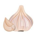 Vector illustration of garlic Stock Images