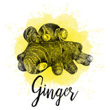 Vector illustration, ginger in hand drawn graphics Royalty Free Stock Photos