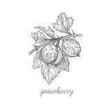 Vector illustration of Gooseberry berries. Royalty Free Stock Photo