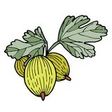 Vector illustration of gooseberry Stock Photo