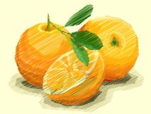 Vector illustration of drawing fruit oranges. Vector illustration graphic arts sketch of drawing fruit oranges with half Stock Images