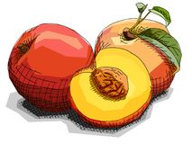 Vector illustration of drawing fruit peaches. Royalty Free Stock Photos
