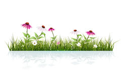 Vector illustration Green grass and echinacea, purple coneflower, and Leaves with Drops Dew and shadow on ground. On white background. Copy space for content Royalty Free Stock Photography