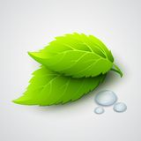 Vector illustration of green leaves and dew drops Royalty Free Stock Photos