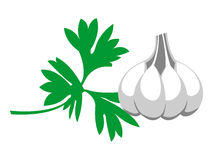 Vector illustration. Grey garlic with green parsley, isolated Stock Image