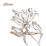Vector illustration with hand drawing lily flowers Stock Photography