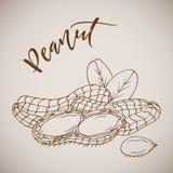 Vector illustration hand drawn sketch peanut Royalty Free Stock Photo