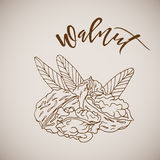 Vector illustration hand drawn sketch walnut Royalty Free Stock Image