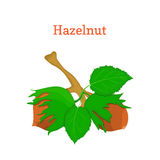 Vector illustration of hazelnuts. Branch hazel nut tree with  leaves. Vector illustration of hazelnuts. Branch hazel nut tree with with leaves. Filbert nuts can Stock Photography