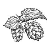 Branch of hops with leaves. Vector illustration of a hops with leaves branch. Hand drawn vintage engraving style vector illustration