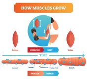 Vector illustration about how muscles grow. Medical educational diagram and scheme with satellite cell and fusion of cells. Vector illustration about how vector illustration