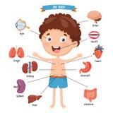Vector Illustration Of Human Body. Eps 10 Royalty Free Stock Photo