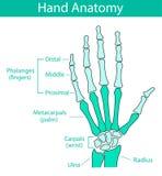 Vector illustration of human hand skeletal anatomy royalty free stock photo