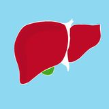 Vector illustration of human liver Stock Photo
