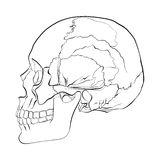 Vector illustration of a human skull Royalty Free Stock Photo