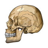 Vector illustration of a human skull Stock Photography