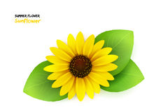 Vector illustration of isolated realistic blooming sunflower with leaves Royalty Free Stock Images