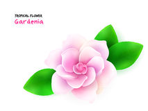 Vector illustration of isolated realistic subtropical blooming gardenia flower with leaves Stock Photo
