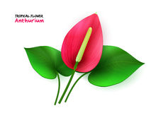 Vector illustration of isolated realistic tropical blooming anthurium flower with leaves Royalty Free Stock Photography