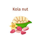 Vector illustration of a kola nut. Appetizing tree with yellow flower, red and nuts leaves on white background. Vector illustration of a kola nut. Appetizing stock illustration