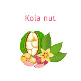 Vector illustration of a kola nut. handful Appetizing with yellow flower, red and nuts leaves on white background. Vector illustration of a kola nut. Appetizing stock illustration