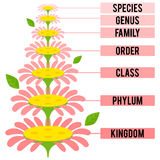 Vector illustration with major taxonomic ranks of the Plant Kingdom Stock Photo