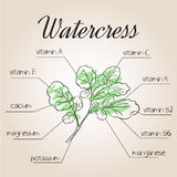 Vector illustration of nutrients list for watercress.  Stock Image