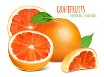Vector illustration od grapefruits Stock Photography