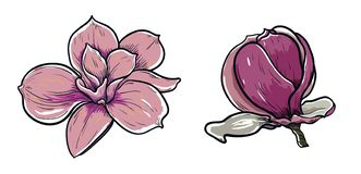 Free Vector Illustration Of Beautiful Magnolia And  Unblown Magnolia Bud, Drawing Spring Flower Isolated On White Background Stock Photo - 144701330