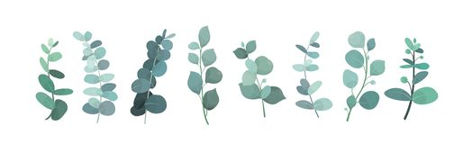 Free Vector Illustration Of Eucalyptus Silver Greenery Set, Leaves And Branches For Decoration Of Greeting Cards And Stock Photo - 127196490