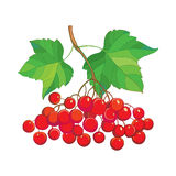 Vector illustration with outline bunch of Viburnum or Guelder rose, green leaves and red berry isolated on white. Drawing with autumn berry. Floral elements in Stock Photography