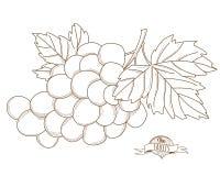 Vector illustration Outline hand drawn grape(flat style, thin li Stock Photography