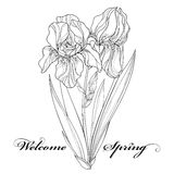 Vector illustration with outline Iris flower, bud and leaves in black isolated on white. Ornate floral element for spring design Royalty Free Stock Photos