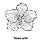 Vector illustration with outline Vanda orchid flower isolated on white background. Epiphyte tropical flower. Exotic Vanda. Vector illustration with outline Royalty Free Stock Images
