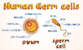 Vector illustration of ovum and sperm cell Stock Images
