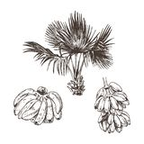 Vector Illustration of palm tree and banana fruit sketch for design, website, background, banner. Hand Drawing floral on stock image