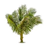 Vector illustration of the palm tree Royalty Free Stock Photo