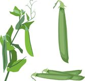 Vector illustration of a pea pod, climbing plant. Part of the pea vector, vector illustration of a pea pod, climbing plant isolated on white background Royalty Free Stock Image