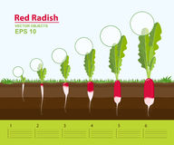 Vector illustration. Phases of growth of a red radish in the garden. Growth, development and productivity of red radish. Growth stage. Distance between plants Royalty Free Stock Image