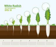 Vector illustration. Phases of growth of a white radish in the garden. Growth, development and productivity of white radish. Growth stage. Distance between Stock Photo