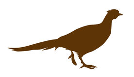 Vector illustration of the pheasant. On white background Royalty Free Stock Photo