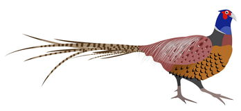 Vector Illustration of a Pheasant Stock Images