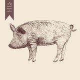 Vector illustration of a pig. Hand drawn. Vintage style. Illustration of a pig. Hand drawn vector. Vintage style Stock Photography