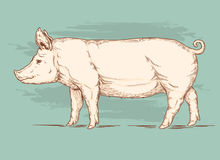 Vector illustration of a pig Royalty Free Stock Images