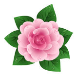 Vector illustration of pink camellia. With leaves and dew isolated on a white background Stock Images