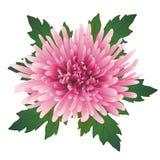 Vector chrysanthemum flower. Vector illustration with pink chrysanthemum flower and leaves Stock Photo