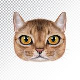 Vector illustration portrait of Abyssinian cat. Cute realistic cartoon face of sable color cat for print on pillow Stock Photography
